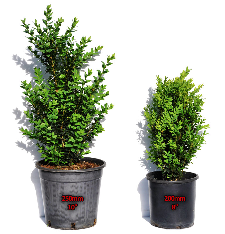 Buxus direct nursery our plants buxus box hedge for Plant in an english hedge crossword clue